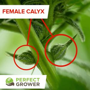 calyx of a female cannabis plant