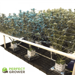 indoor cannabis grow trellis