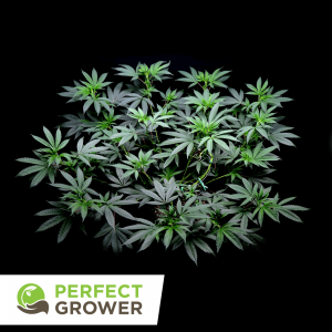 low stress training cannabis top view