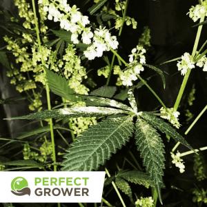 male cannabis plant pollen