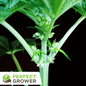 male cannabis plant stamens