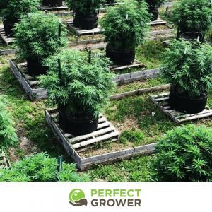 outdoor cannabis grow plants