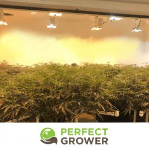 trellis cannabis plant
